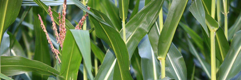 Maispflanzenfasern xylit